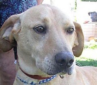 Labrador Retriever/Weimaraner Mix Dog for adoption in Germantown, Maryland - Jobe