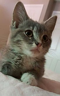 Domestic Shorthair Kitten for adoption in Washington, D.C. - Lacey
