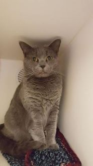 Domestic Shorthair/Domestic Shorthair Mix Cat for adoption in Williamsport, Pennsylvania - Leanan