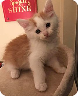 Domestic Mediumhair Kitten for adoption in San Bernardino, California - Orson