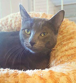 Domestic Shorthair Cat for adoption in McPherson, Kansas - Mayo
