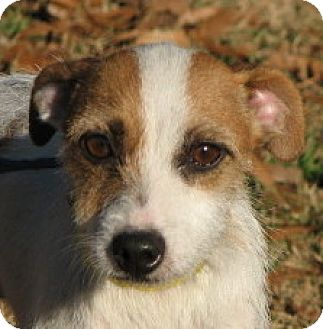 Jack Russell Terrier Mix Dog for adoption in Anderson, South Carolina - Tippy