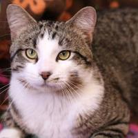 Adopt A Pet :: POUNCE - Slinger, WI