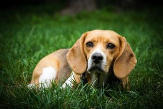 Beagle Mix Dog for adoption in New Freedom, Pennsylvania - Crab Apple