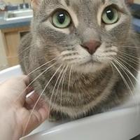 Adopt A Pet :: Beauty Queen - Davie, FL