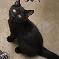 Adopt A Pet :: Chaplin - Knoxville, IA