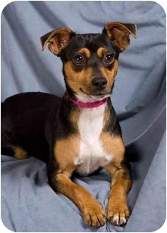 Miniature Pinscher Mix Dog for adoption in Anna, Illinois - GABBY