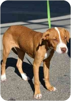 Pit Bull Terrier Mix Dog for adoption in Los Angeles, California - MADISON