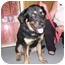 Photo 1 - Rottweiler/Chow Chow Mix Dog for adoption in Lafayette, New Jersey - Frankie