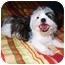 Photo 1 - Shih Tzu Mix Puppy for adoption in Latrobe, Pennsylvania - Romeo