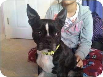 Boston Terrier Dog for adoption in Worcester, Massachusetts - BENNY