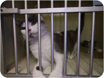 Domestic Shorthair Cat for adoption in Tipton, Iowa - Dutchess