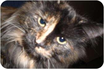 Calico Cat for adoption in Rigaud, Quebec - Sophie