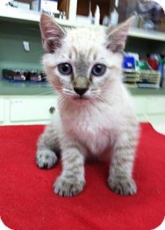 Siamese Kitten for adoption in Apple valley, California - Linkon
