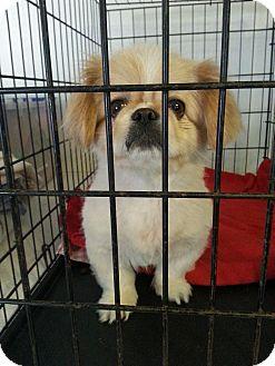 Pekingese Dog for adoption in San Antonio, Texas - Mia