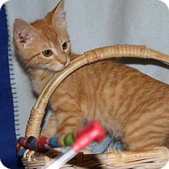 Domestic Shorthair Kitten for adoption in Columbia, Illinois - Devon