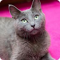 Adopt A Pet :: Miss Kitty Van Trap - Chicago, IL