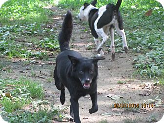 Schipperke/Spitz (Unknown Type, Small) Mix Dog for adoption in Memphis, Tennessee - Spike