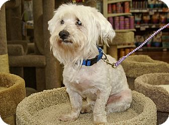 Bichon Frise Mix Dog for adoption in Englewood, Florida - Sully