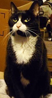 Domestic Shorthair Cat for adoption in Woodside, New York - Maruka