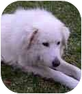 Great Pyrenees Dog for adoption in Kyle, Texas - Polly