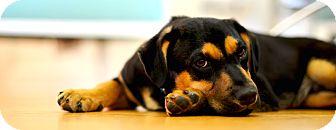 Rottweiler/Retriever (Unknown Type) Mix Puppy for adoption in Bedford Hills, New York - Caesar