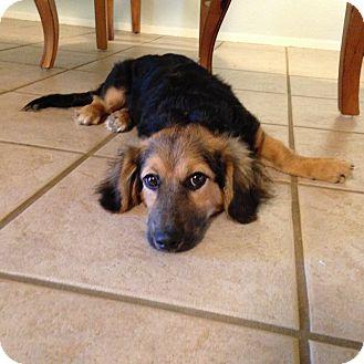 Dachshund Mix Puppy for adoption in Schertz, Texas - Ava (Ellie) CW