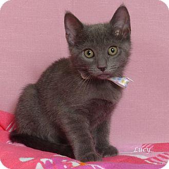 Russian Blue Kitten for adoption in Kerrville, Texas - Lucy