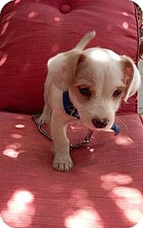 Miniature Poodle/Chihuahua Mix Puppy for adoption in Santee, California - Tiny