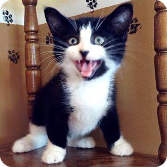 Domestic Shorthair Kitten for adoption in Brimfield, Massachusetts - Tux