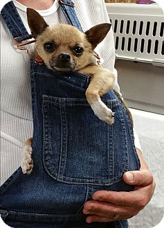 Chihuahua Mix Dog for adoption in Urbana, Ohio - Buddy
