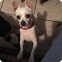Adopt A Pet :: Angel - Brooksville, FL