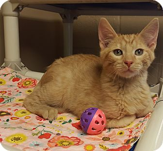 Domestic Shorthair Kitten for adoption in Germantown, Tennessee - Blaze