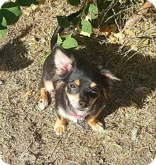 Chihuahua/Terrier (Unknown Type, Medium) Mix Puppy for adoption in Mesa, Arizona - COOKIE MONSTER