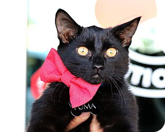 Domestic Shorthair Kitten for adoption in South El Monte, California - Puma