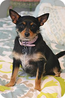 Australian Terrier/Norwich Terrier Mix Dog for adoption in Allentown, Pennsylvania - Milo