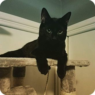 Domestic Shorthair Kitten for adoption in Columbus, Ohio - Pantherlily