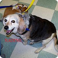 Adopt A Pet :: NADINE - Ventnor City, NJ