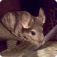 Adopt A Pet :: Artemia - Patchogue, NY