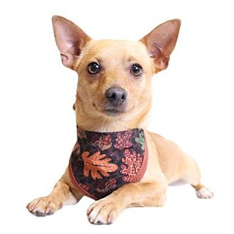 Chihuahua Mix Dog for adoption in Chico, California - Buck