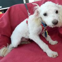Maltese/Poodle (Miniature) Mix Dog for adoption in Umatilla, Florida - Matisse