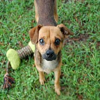Terrier (Unknown Type, Medium) Mix Dog for adoption in Panama City, Florida - FRITZ