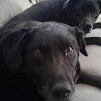 Adopt A Pet :: THOR 2 - Chandler, AZ