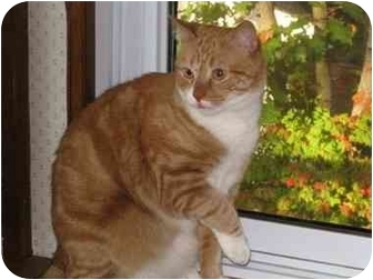 Domestic Shorthair Cat for adoption in Wayne, New Jersey - Nemo