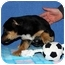Photo 2 - German Shepherd Dog/Shepherd (Unknown Type) Mix Puppy for adoption in Broomfield, Colorado - Tanith
