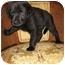 Photo 2 - Labrador Retriever/Golden Retriever Mix Puppy for adoption in Rigaud, Quebec - Naya