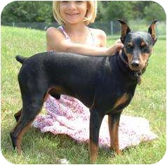 German Pinscher Dog for adoption in Osseo, Minnesota - Sarge