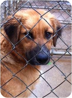 Golden Retriever Mix Puppy for adoption in Hagerstown, Maryland - Dash