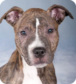 American Pit Bull Terrier Mix Puppy for adoption in Chicago, Illinois - Bogie