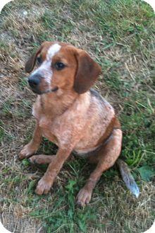 English (Redtick) Coonhound/Beagle Mix Dog for adoption in Morris, Illinois - EMILY
